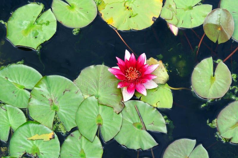 红潮百合在公园的池塘 免版税库存照片