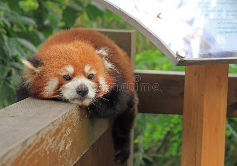 红熊猫在成都公园  免版税库存图片
