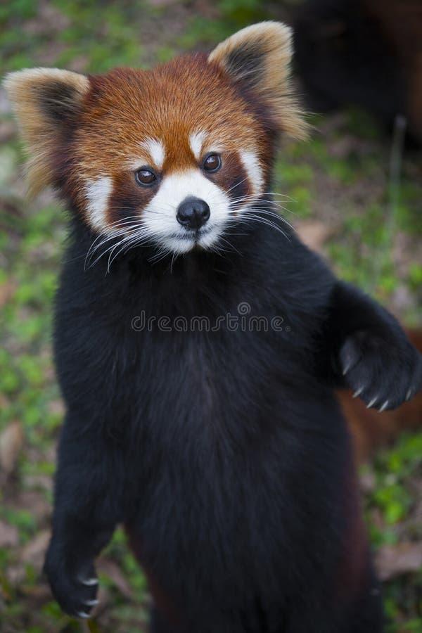 红熊猫小雄猫属fulgens,亦称小熊猫 免版税库存图片