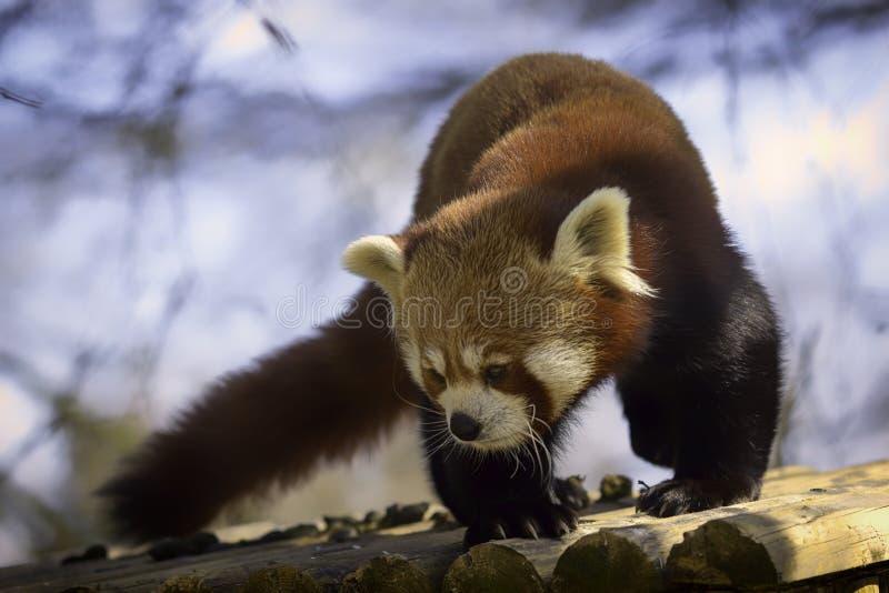 红熊猫软的焦点梦想的动物图象 免版税库存照片