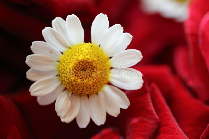 红玫瑰背景中的雏菊 免版税库存图片