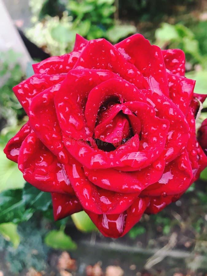 红玫瑰 玫瑰 保加利亚玫瑰 免版税库存照片