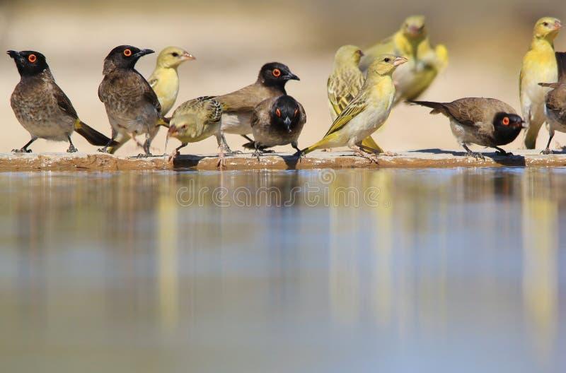 红眼睛的歌手和黑色被掩没的织布工-五颜六色的鸟背景-生活极乐  图库摄影