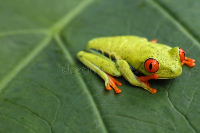 红眼睛的雨蛙在哥斯达黎加 库存照片