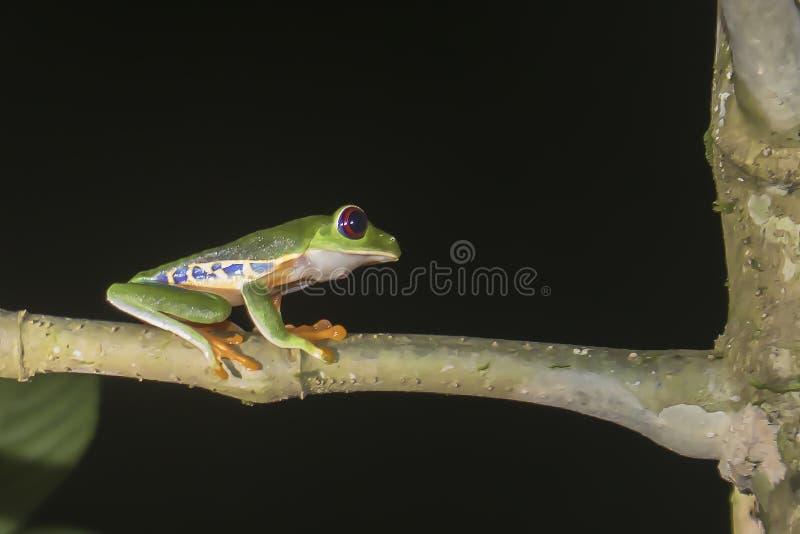 红眼睛的雨蛙在密林在晚上在哥斯达黎加 库存照片