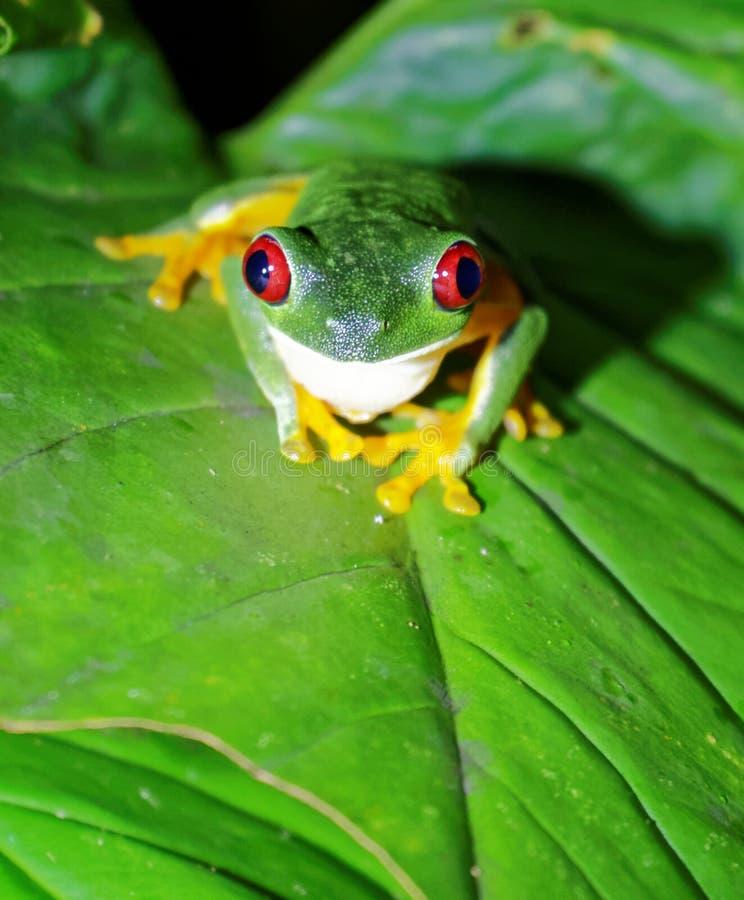 红眼睛的雨蛙,哥斯达黎加 免版税库存照片