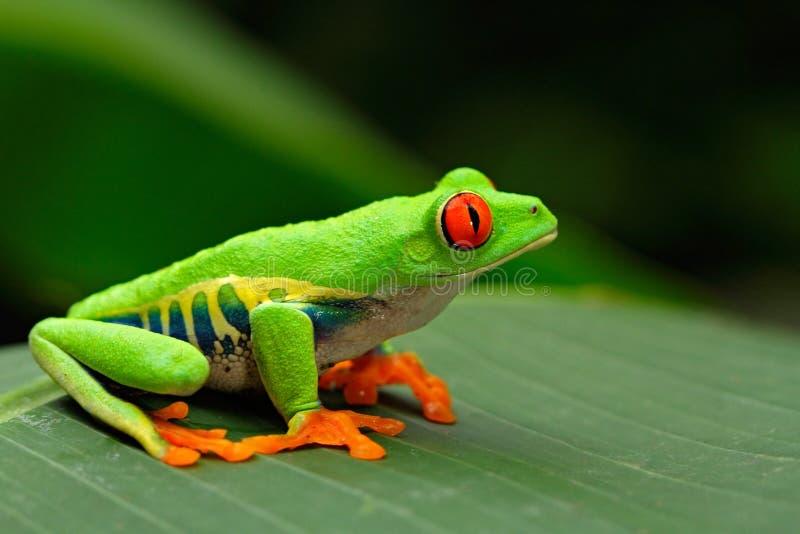 红眼睛的雨蛙, Agalychnis callidryas,哥斯达黎加 库存照片