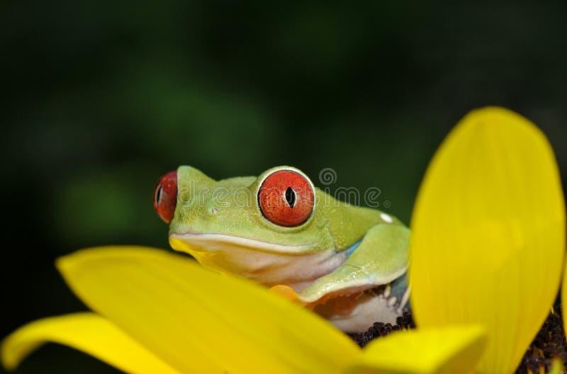 红眼睛的雨蛙 免版税库存图片