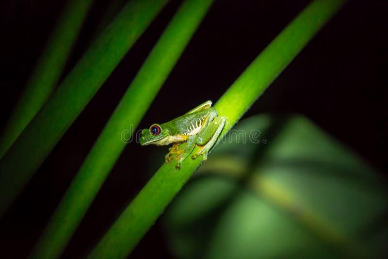 红眼睛的雨蛙(Agalychnis callidryas)在一个绿色分支 库存图片