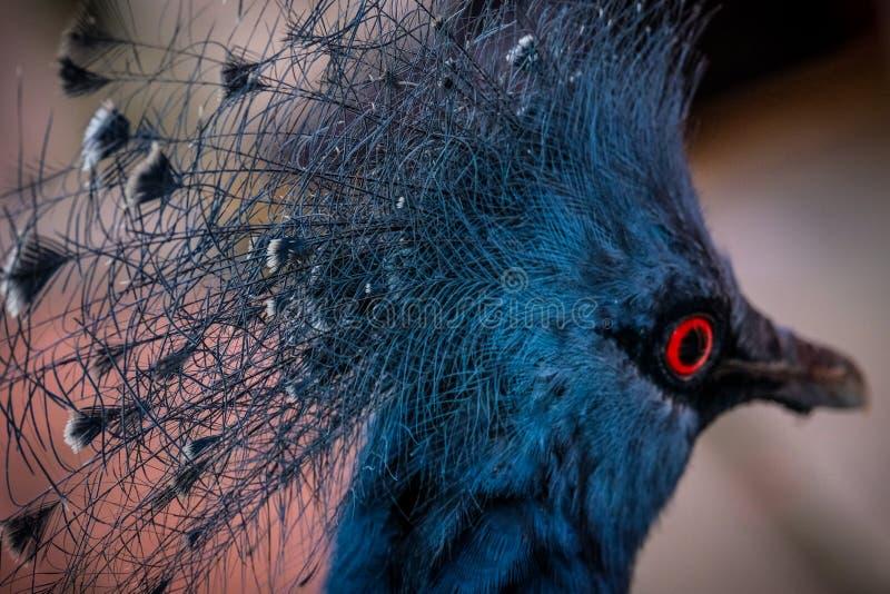 红眼睛的鸟陈列外形 免版税库存图片