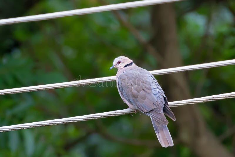 红眼睛的鸠,与红色光秃的皮肤的鸽子鸟在眼睛附近在阿鲁沙区,坦桑尼亚,东非 库存图片