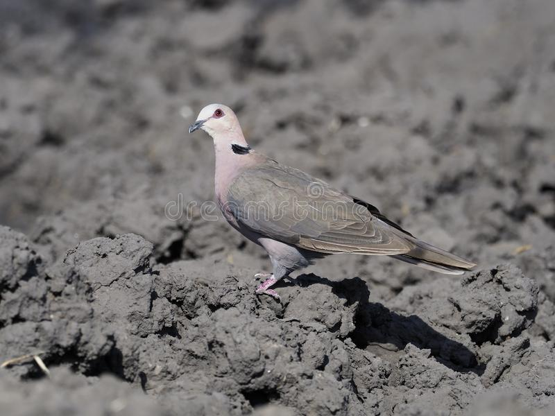 红眼睛的鸠,斑鸠semitorquata 免版税库存照片