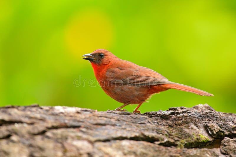红红喉刺莺的蚂蚁唐纳雀, Habia fuscicauda,红色鸟在自然栖所 唐纳雀坐绿色棕榈树 鸟的监视人的i 免版税库存图片