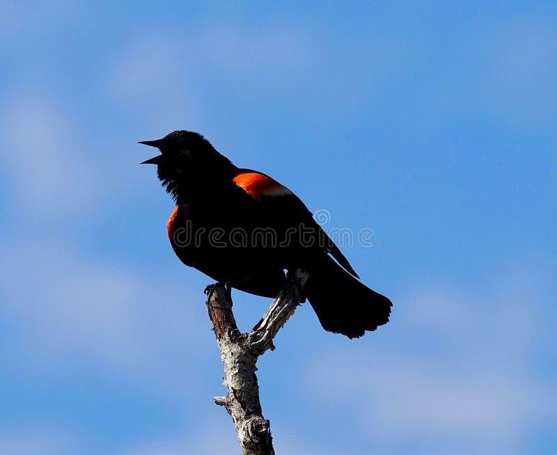 红翅黑鸟或凤凰 库存照片