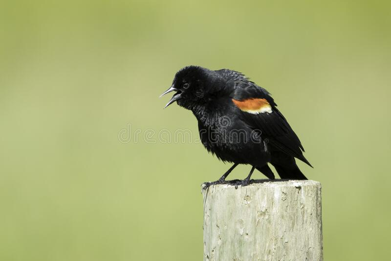 红翅黑鸟 图库摄影