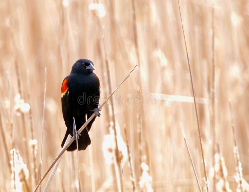 红翼歌鸫黑鹂 库存图片