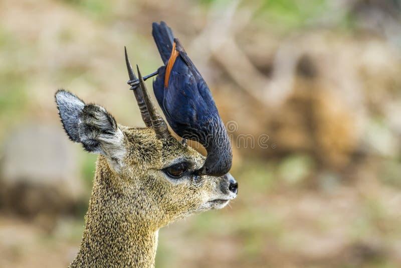 红翼的椋鸟科和klipspringer在克鲁格国家公园,如此 库存图片