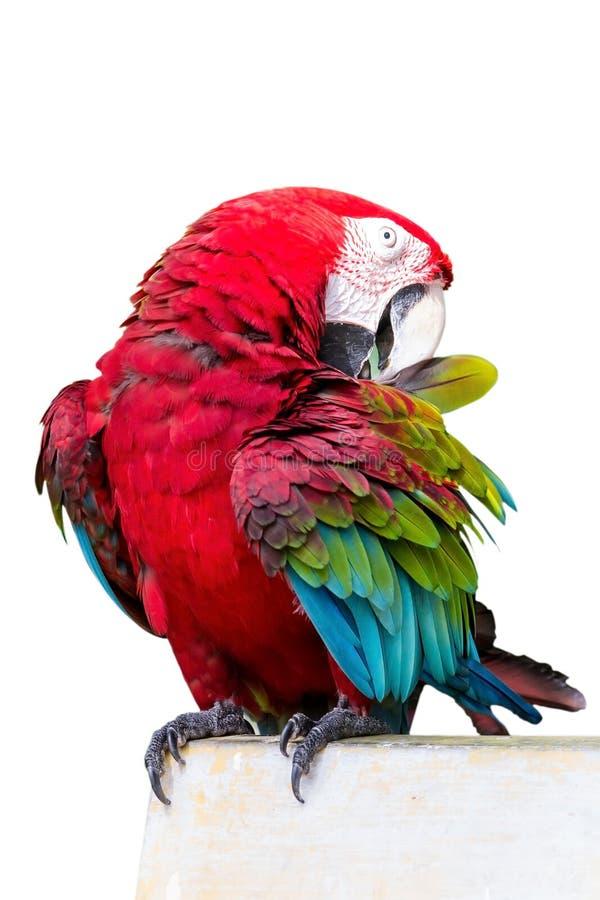 红翼的金刚鹦鹉, Ara chloropterus,在白色背景前面 免版税库存图片