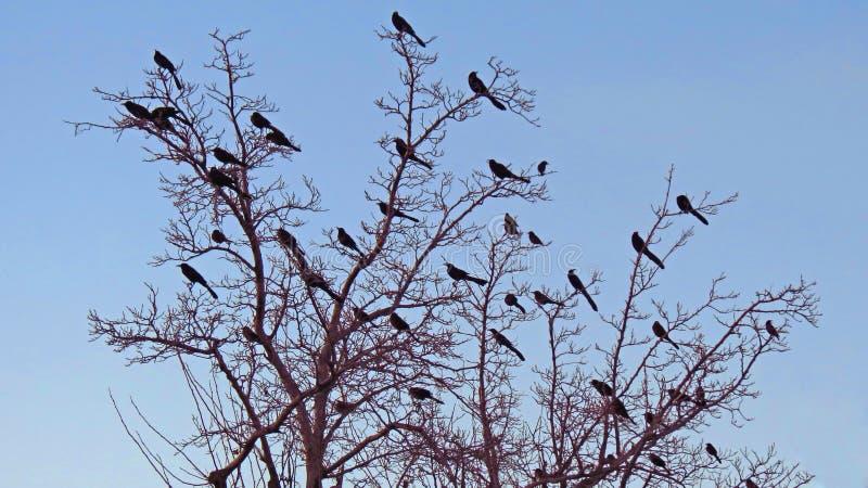 红翼的黑鸟-剪影 免版税库存照片