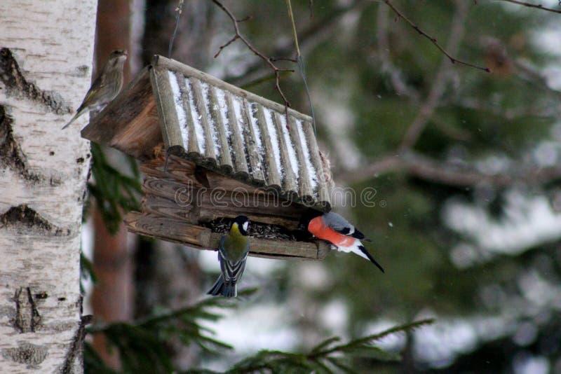 红腹灰雀和一只伟大的山雀 图库摄影