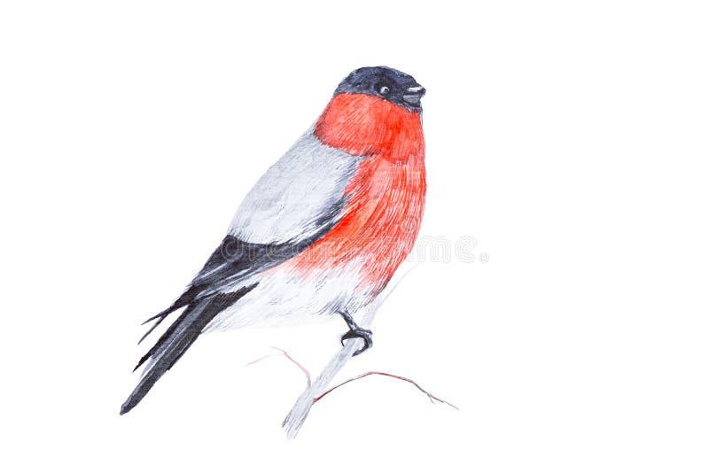 红腹灰雀鸟的水彩例证坐在白色背景隔绝的枝杈 皇族释放例证