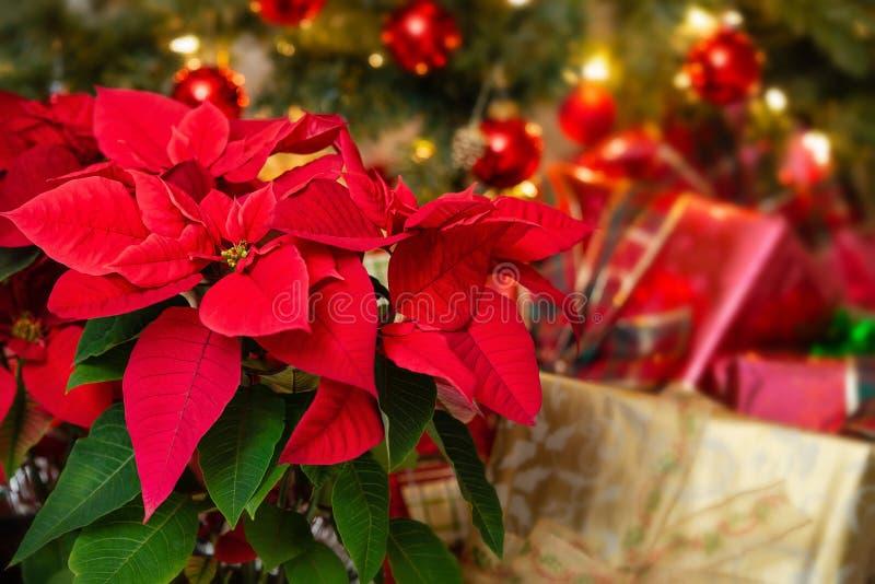 红色一品红花,圣诞节星 库存图片