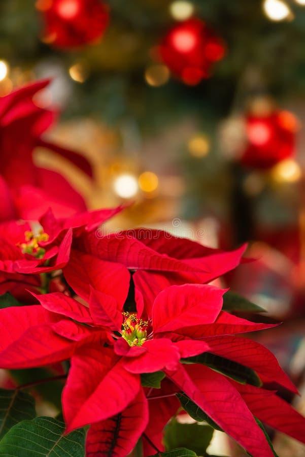 红色一品红花,圣诞节星 免版税库存照片