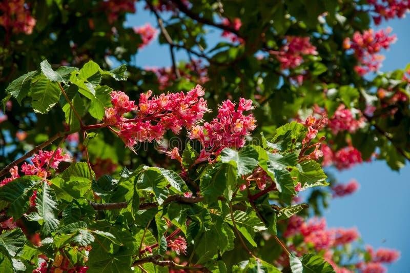 红色七叶树树-基辅市的标志开花的 免版税库存图片