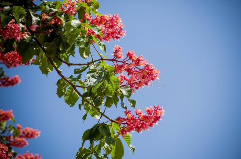 红色七叶树树-基辅市的标志开花的 图库摄影