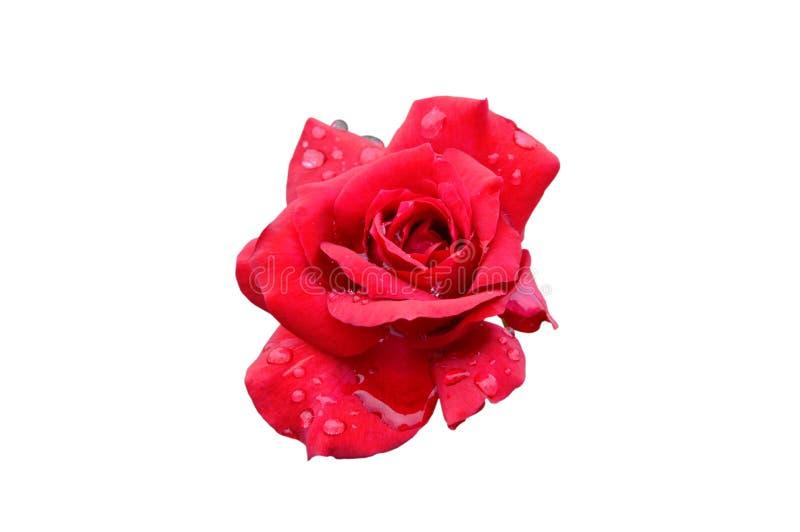 红色上升了开花与水滴在白色背景的 免版税库存照片