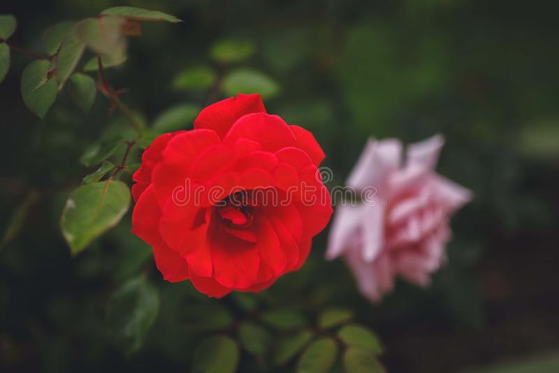 红色上升了 精美美丽的花 免版税图库摄影