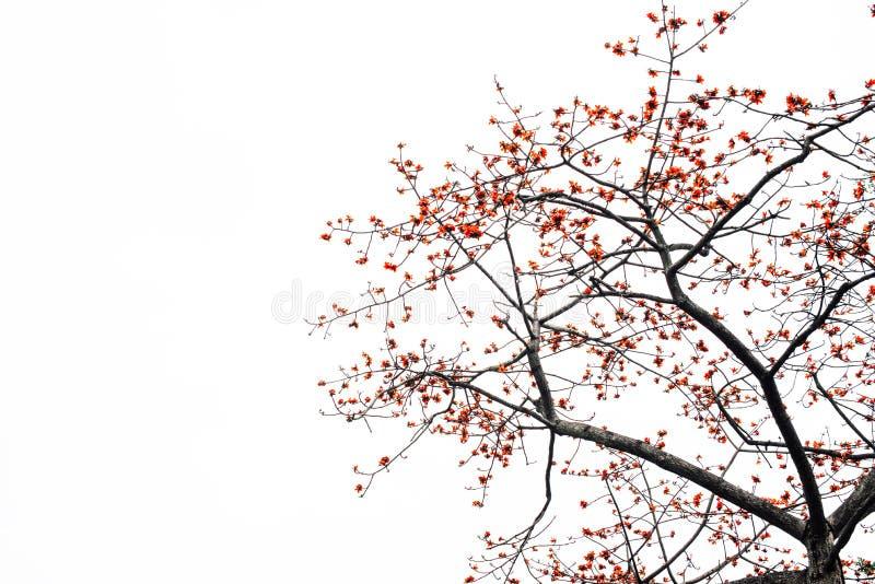 红色丝光木棉树的开花 免版税库存照片