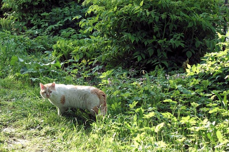 红色严厉的街道和走在街道上的白色流浪者猫在太阳点燃的早晨 r 免版税库存照片