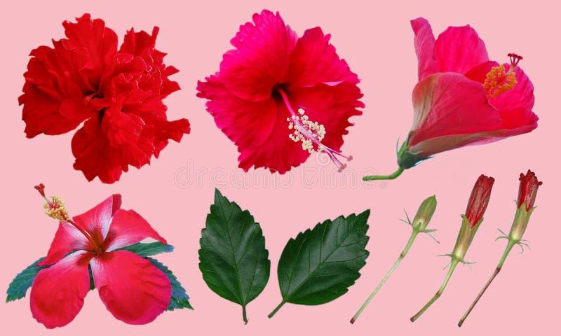 红色中国木槿,中国上升了,夏威夷木槿开花 库存图片
