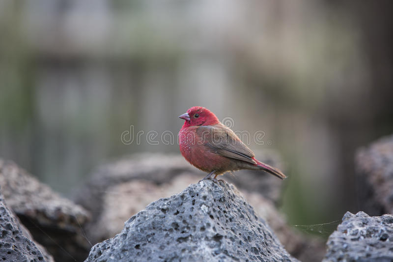 红色乳房鸟 免版税库存图片