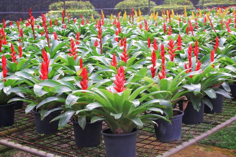 红色五颜六色的花和开花与在黑塑料罐的绿色叶子的黄色bromeliade在热带园林植物托儿所 免版税图库摄影