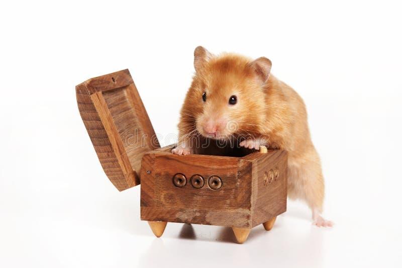 红色仓鼠爬出箱子 免版税库存照片