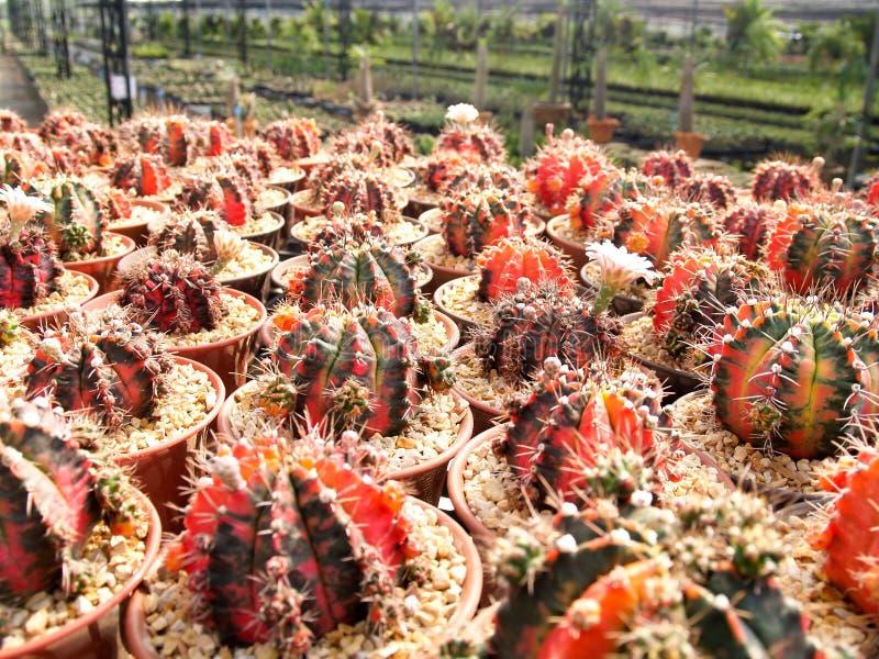 红色仙人掌在庭院里 免版税图库摄影