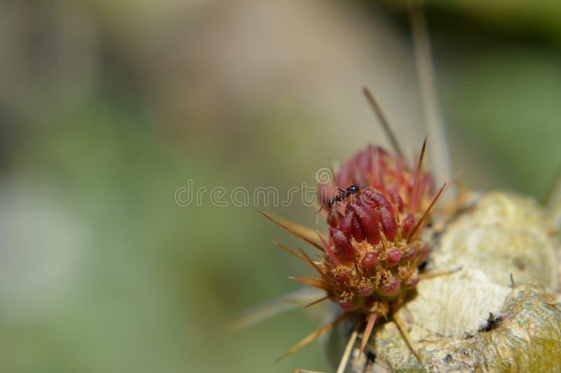 红色仙人掌特写镜头与蚂蚁的 库存图片