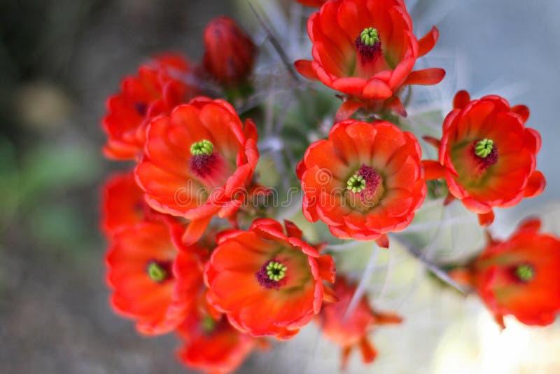 红色仙人掌花绽放 免版税图库摄影
