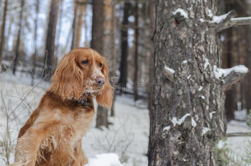 红色俄国西班牙猎狗 免版税库存图片