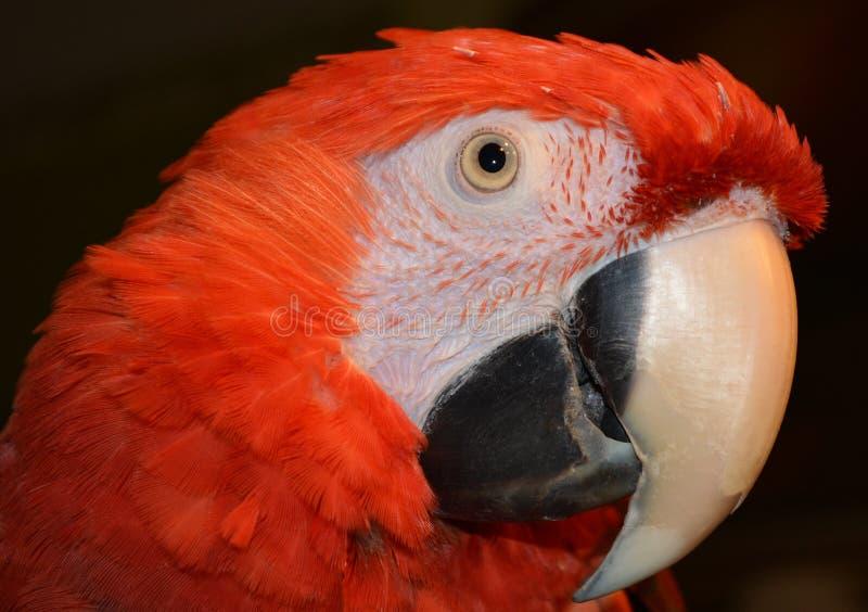 红色俏丽的金刚鹦鹉 库存照片