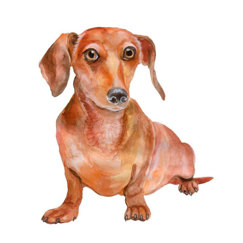 红色光滑的达克斯猎犬品种,德国barger狗水彩画象,在白色背景 库存例证