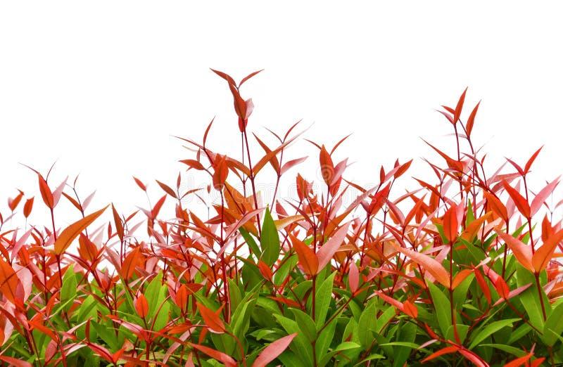 红色克里斯蒂娜叶子、澳大利亚蒲桃、刷子在白色背景或者朔望性australe树梢隔绝的樱桃植物 免版税库存照片