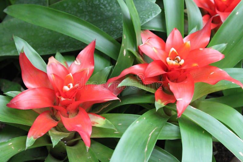 红色凤梨科开花植物