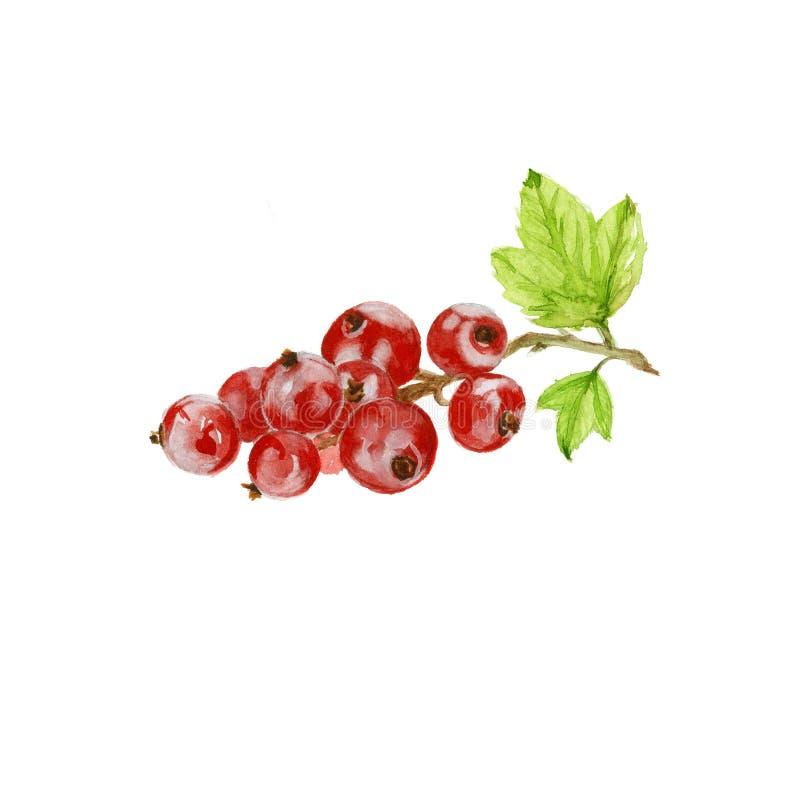 红色分行的无核小葡萄干 水彩 库存例证