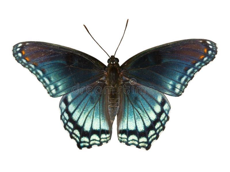 红色发现了紫色海军上将,线蛱蝶属arthemis astyanax 免版税库存照片