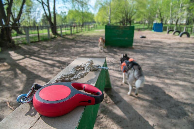 红色可撤回的磁带狗皮带在景气在一个训练场的背景中说谎狗的 宠物辅助部件 免版税库存照片