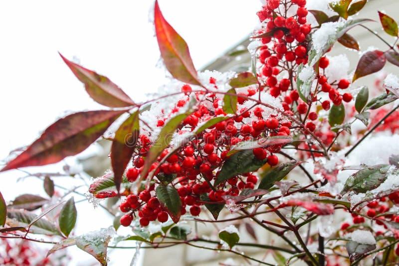 红色叶子和莓果在熔化的雪和冰-选择聚焦 免版税库存图片