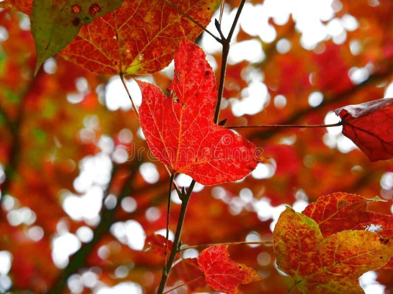 红色叶子在元朗在香港 库存图片